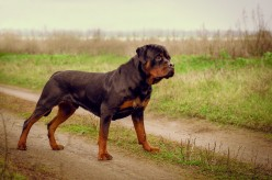 Rottweiler - the Whole Truth About This Breed