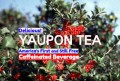 Delicious Yaupon Tea, America's First and Still Free Caffeinated Beverage