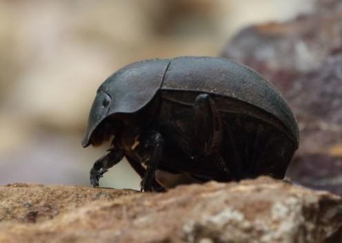 Adult Dung Beetle.