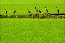 Storks on the hunt.