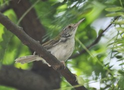 Tailor bird.