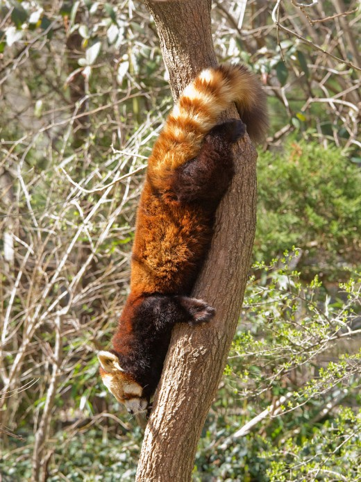 Red Panda climbing down a tree.