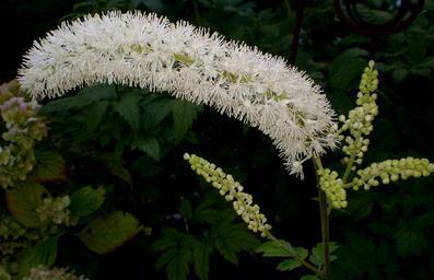 Black Cohosh Scientific names: Cimicifuga racemosa, Actea racemosa Other names: bugbane, bugwort, rattleroot, black snakeroot, macrotys and rattleweed