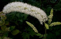 Black Cohosh - Benefits for Women