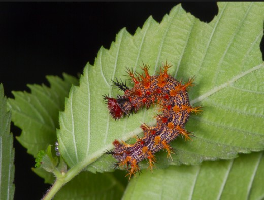 The question mark butterfly has an especially spiny caterpillar
