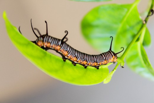 Taking care of caterpillars is part of maintaining a butterfly garden.