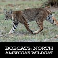 Bobcats: North America's Wildcat