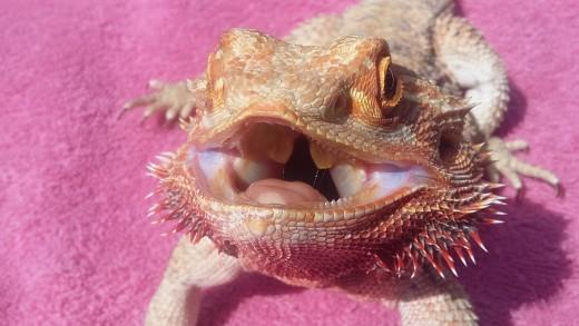 My bearded dragon, Alice
