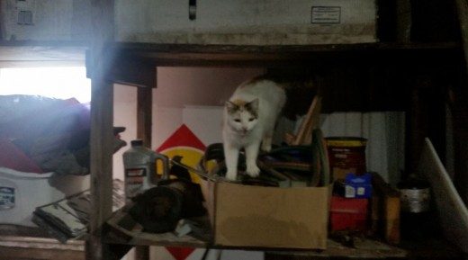 neighbor cats climb around on shelves