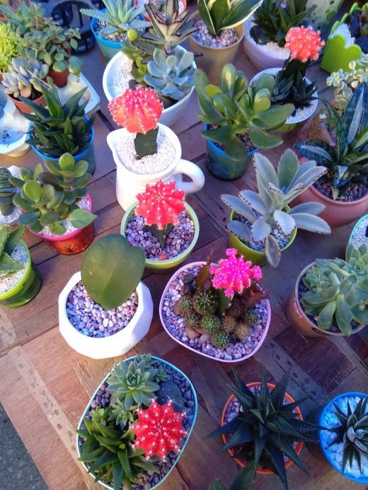 lovely indoor bonsai cactus plants