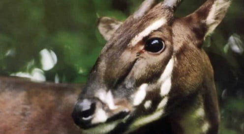 A Saola's Face Markings