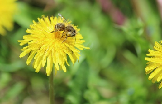 A bee enjoying a common dandeliion in a bee lawn.