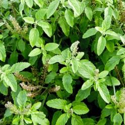 Grow Basil & Harvest the Seeds