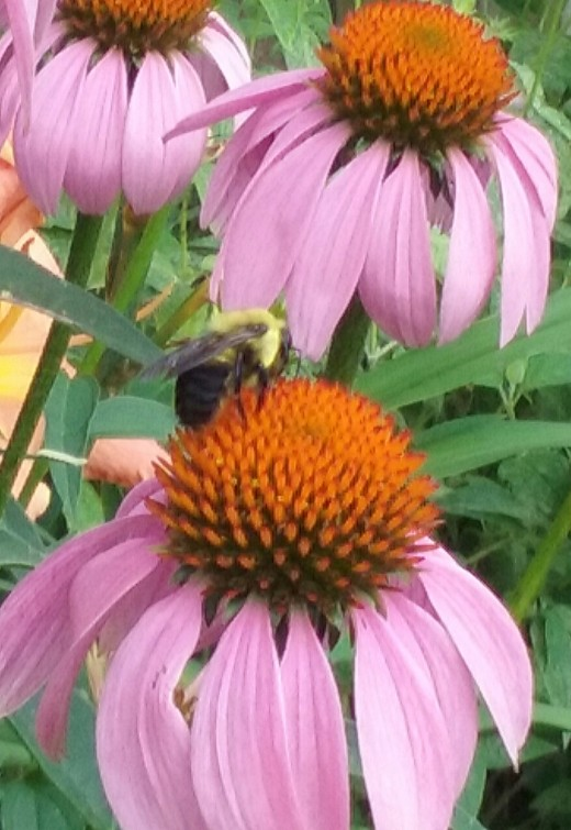 One of many types of bees visiting the purple coneflowers of my front yard.