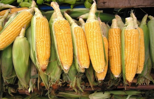 Corn during a fall harvest
