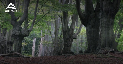 A copse of ancient old growth trees in Epping Forest