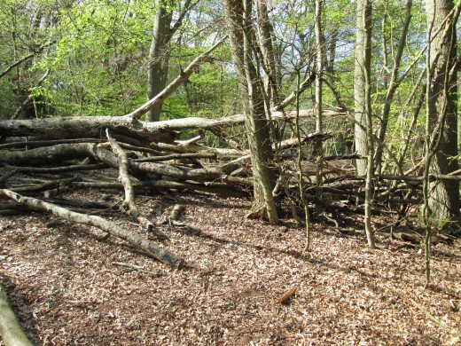 A short way on you'll see the tree shown here with a sort of natural barrier made of fallen tree trunks and branches. The 'barrier' is an accident of nature...