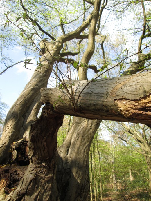 Here's another, a 'rheumatic' tree. In fact the thick branch here has taken a heavy blow from another tree. Shoots have sprung from the bough, with leaves growing from them
