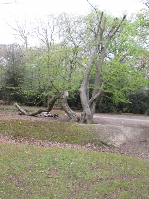 Near the old unmade road past the Original Tea Hut that now leads only to a car,park, a 'family' group of tree trunks that seem to wind around each other,