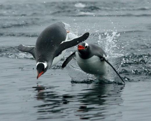 Penguins At Play