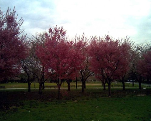 Blooming trees line the walkways in Flushing Meadows Corona Park.