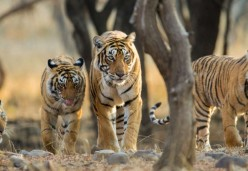 Tiger's Roar as Their Population in India Grows by 33%