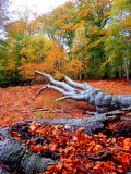 Heritage - 56: High Beech In All Its Autumn Glory