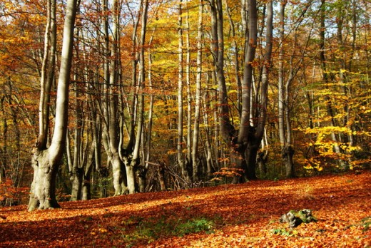 ...The hillside is aflame - pollarded beeches near High Beech (on the map, as you know, as 'High Beach') ...