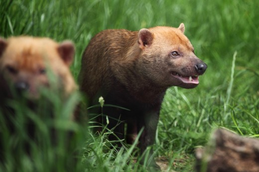 Bush dogs have a much smaller leg-to-body length ration than most wild canines.