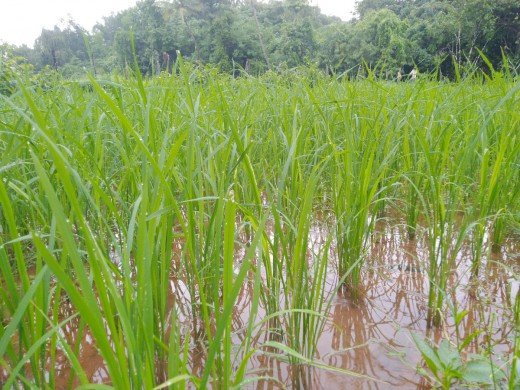 Farmers grow paddy in puddled fields