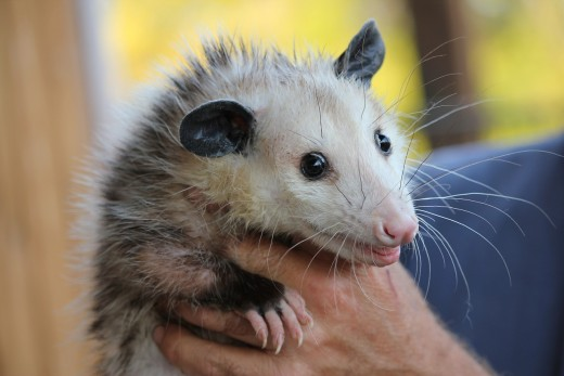 How to feed baby possum
