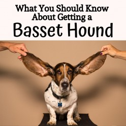 Five Things You Should Know Before Choosing a Basset Hound