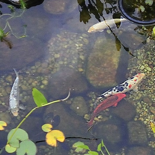 Fish Pond (c/o DelosJ @ Flickr.com)
