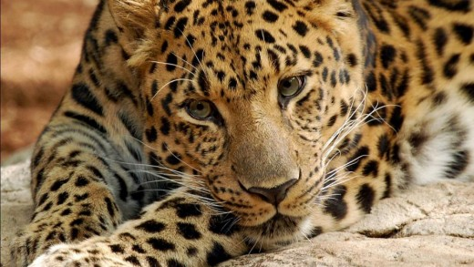 This leopard is amongst the world's most endangered animals and on the brink of extinction.