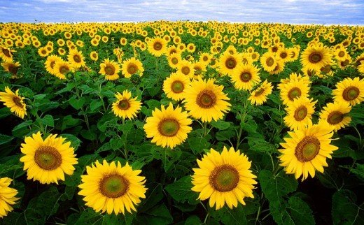 Fields of sunflowers in full bloom attract visitors from miles around.