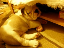 English Bulldogs - Ideal Pets