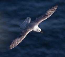 Fulmar: A Wide-Ranging Seabird