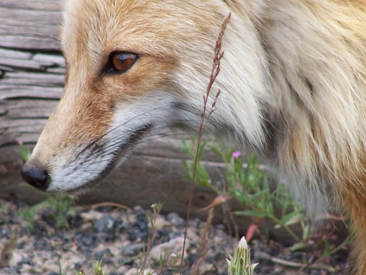Be wily like a fox regarding payment for your work