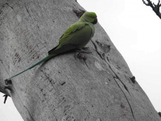 One of the 30 or so Ring-necked Parakeets now resident at Elmdon.