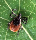 Lyme Disease - Symptoms and Treatment