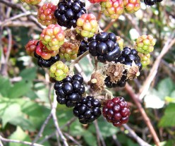 The Health Benefits of Blackberries