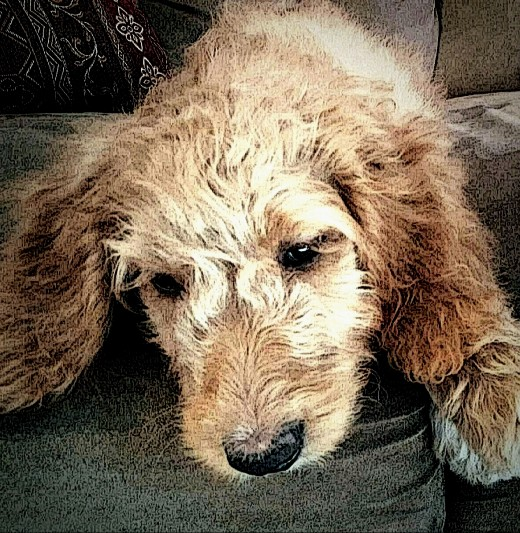 "Who Could Ever Hit or Yell at Such a Sweet Animal! - 3 month old, female - Goldendoodle ""Touka"""
