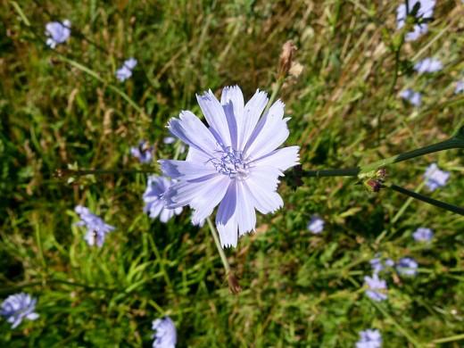 Cichorium intybus - Chicory flower