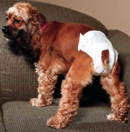 Doggy diapers help to protect furniture and carpeting.