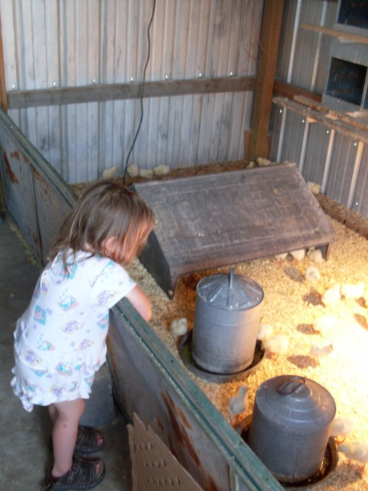 My two-year-old daughter enjoys the baby chicks very much, though she is not allowed to go into their enclosure.