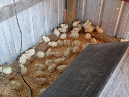 They rush about in groups, and spend a lot of time hiding under the brooder when approached.