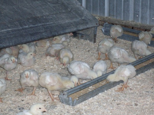 They love to eat! Presently, the 100 of them eat about 1 to 1 1/4 gallon of Chick Starter per day. Each week, their food intake increases dramatically. They need the whole chicken house to roam in, too.