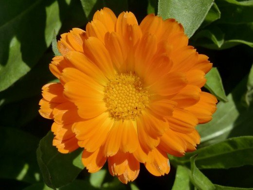 One of October's birth-flowers is the calendula.