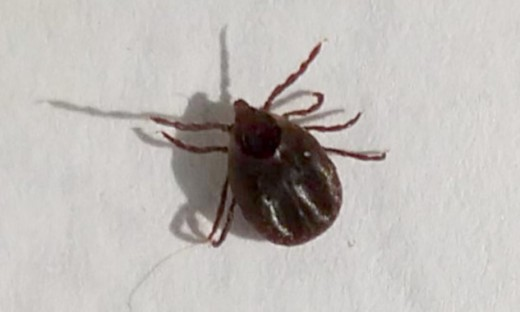 A close-up view of the tick