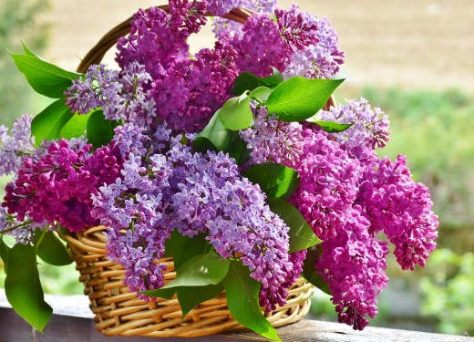 Lilacs, Image by RitaE from Pixabay